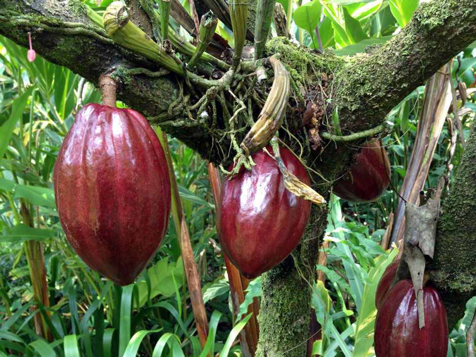 Albero Trinitario - Fave di Cacao