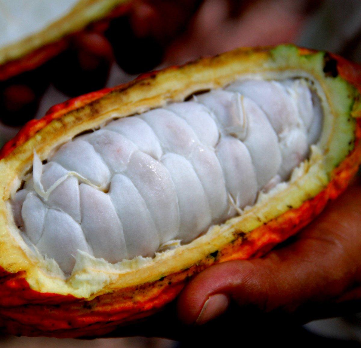 Fava di Cacao - Cabosside