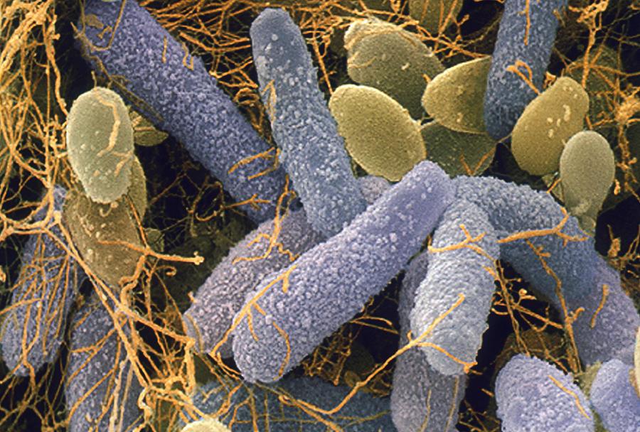 Acito Acetico - Acetobacter