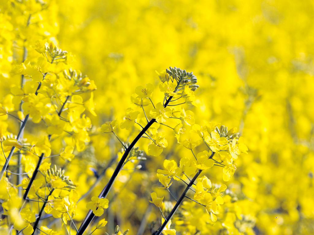 Brassicaceae Olio di Colza